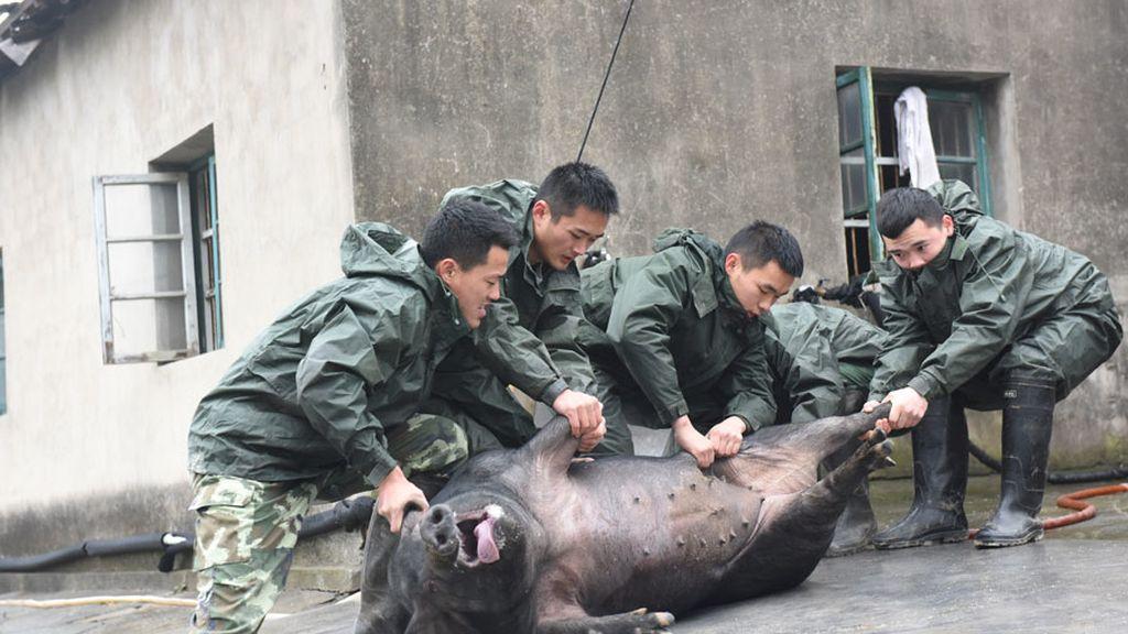 Cuando el cerdo escapa...
