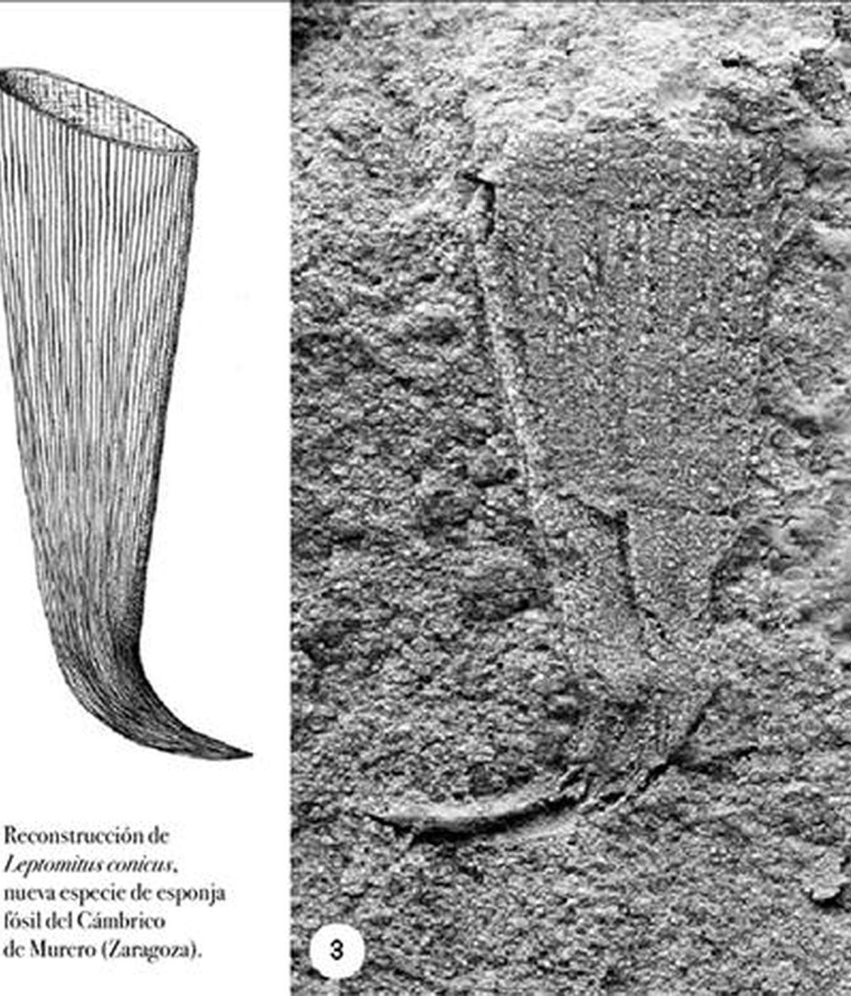 En la imagen, una nueva especie de esponja fósil descuerta en el yacimiento cámbrico de la pequeña localidad zaragozana de Murero en el año 2007. EFE/Archivo