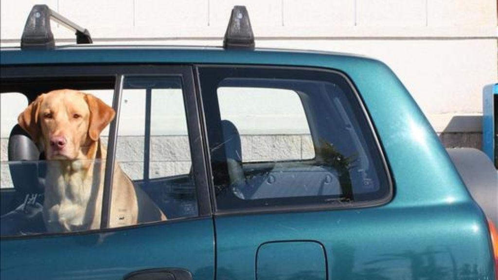 Un perro espera en el interior del vehículo a su amo. EFE/Archivo