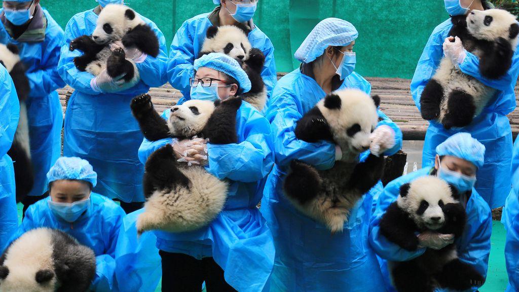 Los criadores chinos de osos pandas lucen sus crías