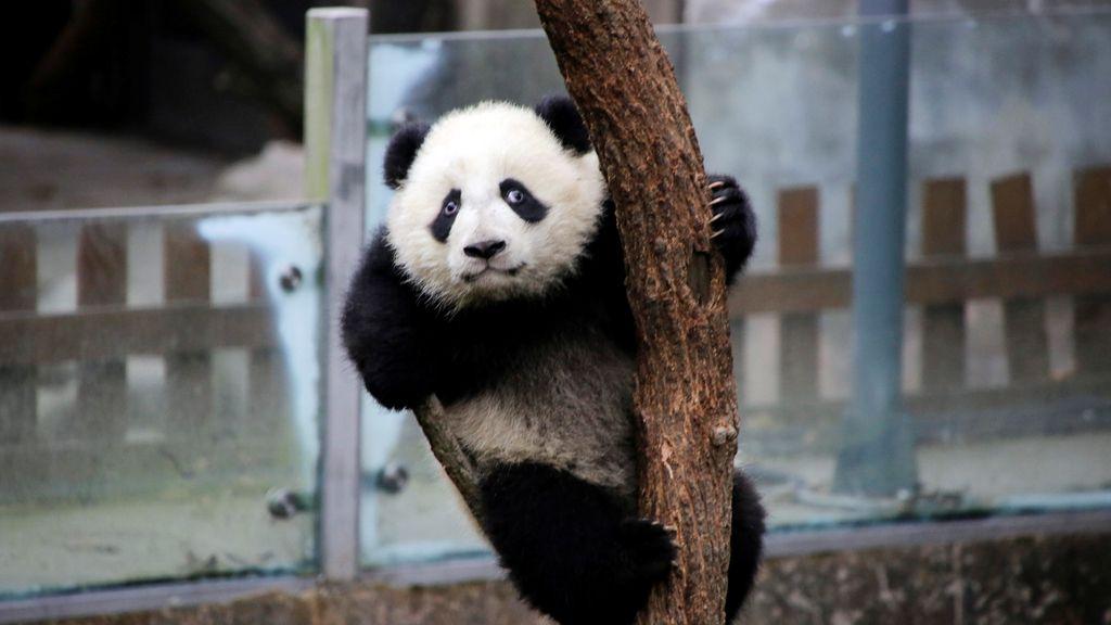 Un panda gigante bebé