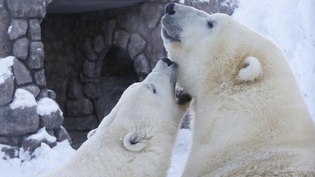 Osos polares juegan en el Zoo