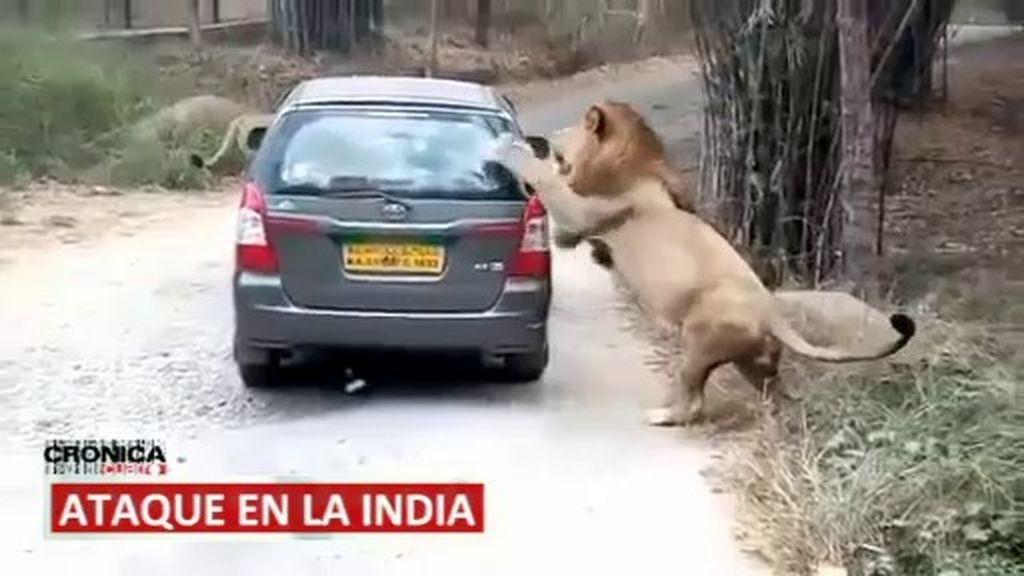 Ataque de un león, un padre que es un héroe... imágenes de impacto