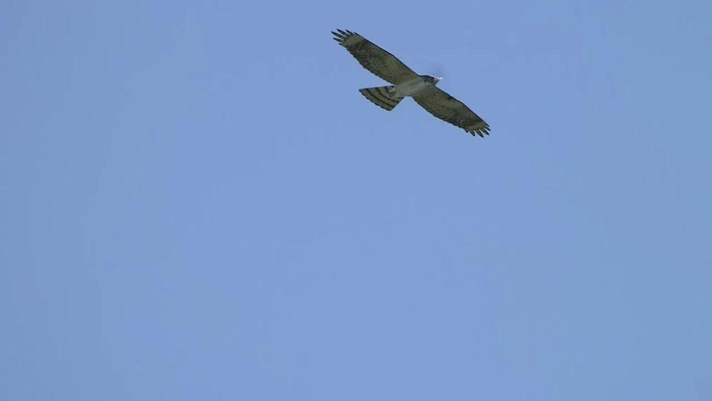 Un dron con forma de pájaro, solución para el problema de las aves del Delta