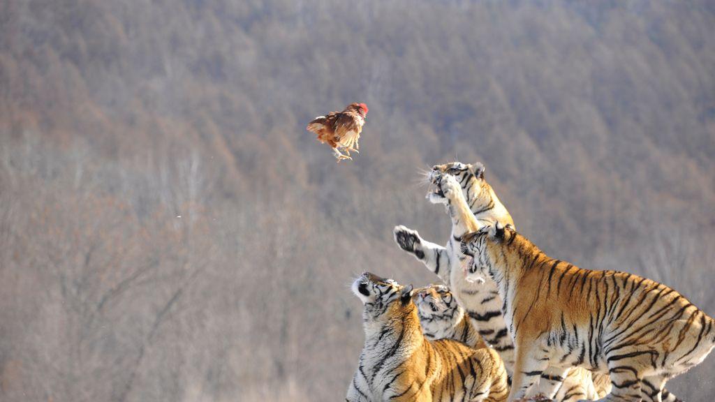 Tigres siberianos pugnan por una presa