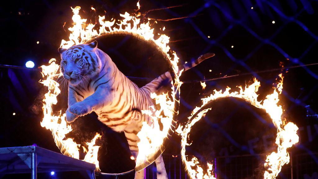 Tigre salta un anillo de fuego