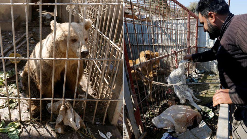 Un león y un oso, los únicos supervivientes del zoo de Mosul