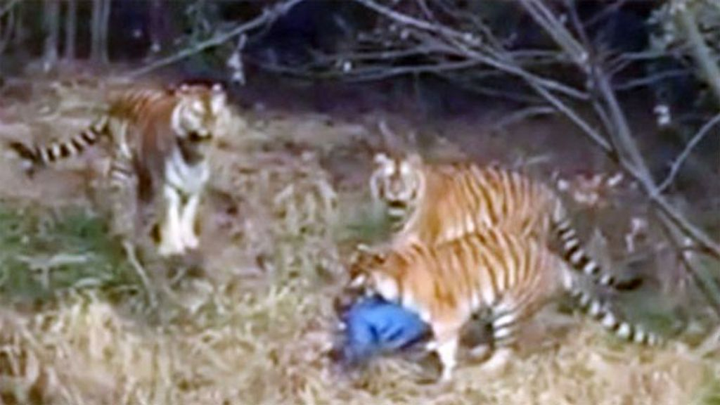 ataque tigre