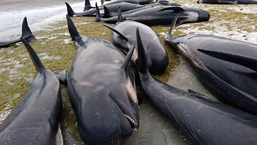 Cientos de ballenas varadas en una playa de Nueva Zelanda