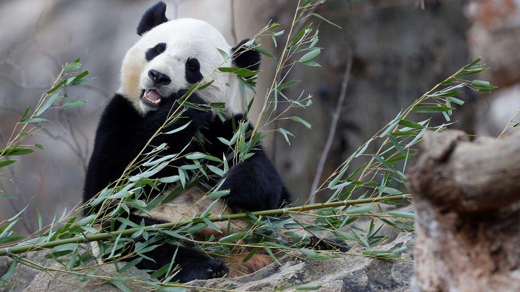 El oso panda Bao Bao