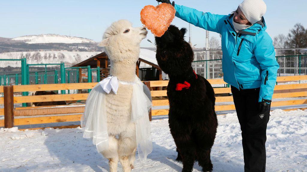 El amor llega hasta a las alpacas