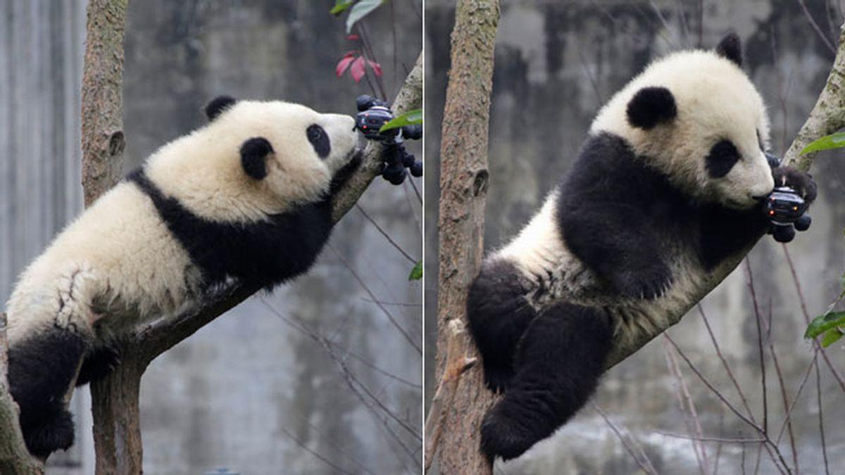 El pequeño panda gigante que quiere un buen selfi