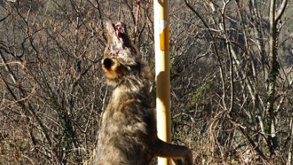 Aparece otro lobo colgado de una señal en Asturias