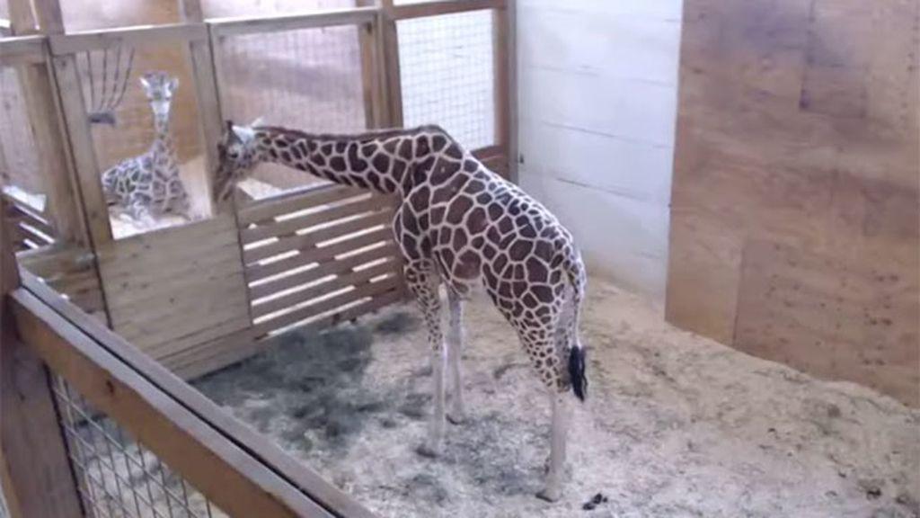 April, la jirafa más celebre de Internet