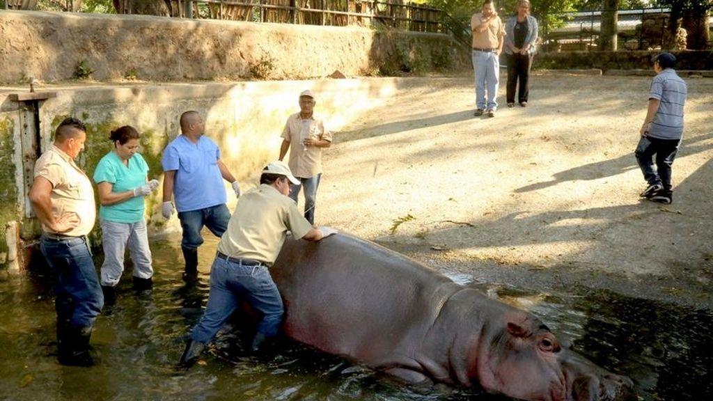 Hipopótamo asesinado en El Salvador