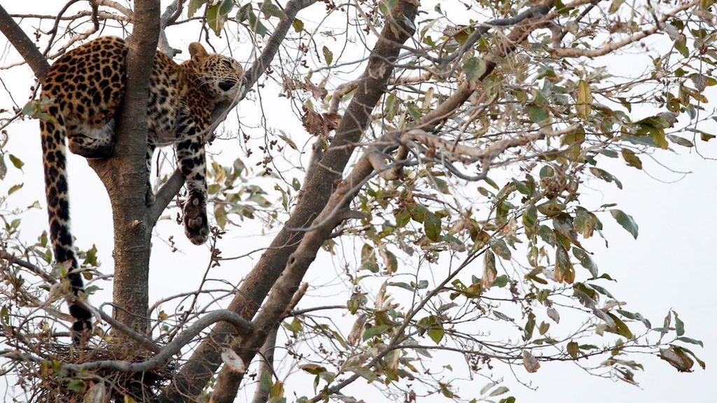 Un leopardo salvaje