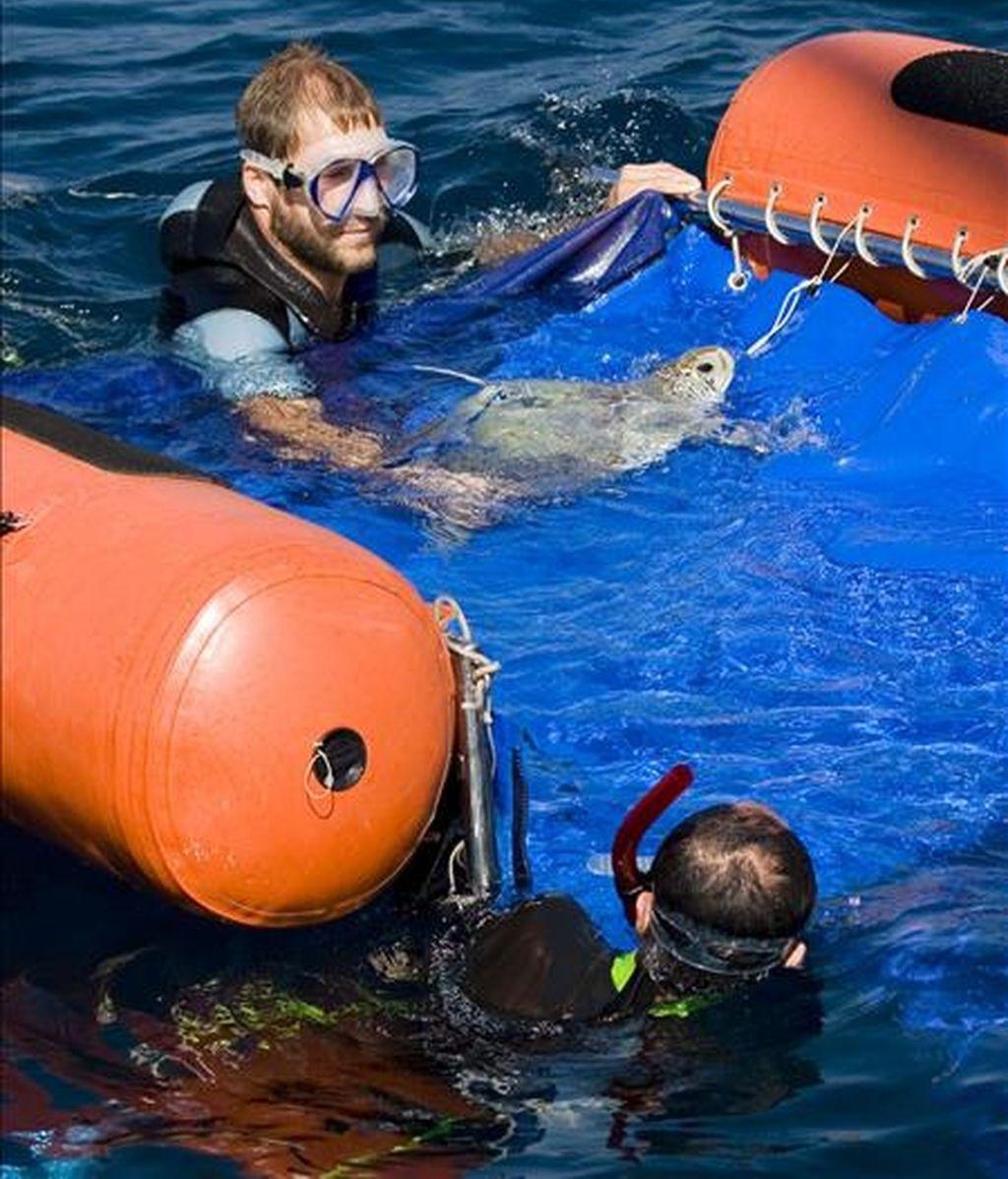 La Fundación para la Conservación y Recuperación de Animales Marinos (CRAM) ha liberado en el Mediterráneo la tortuga verde que apareció varada hace 6 meses en la playa del Trabucador del Delta del Ebro, tras colocarle un transmisor vía satélite que permitirá su seguimiento durante 1 año. EFE/CRAM