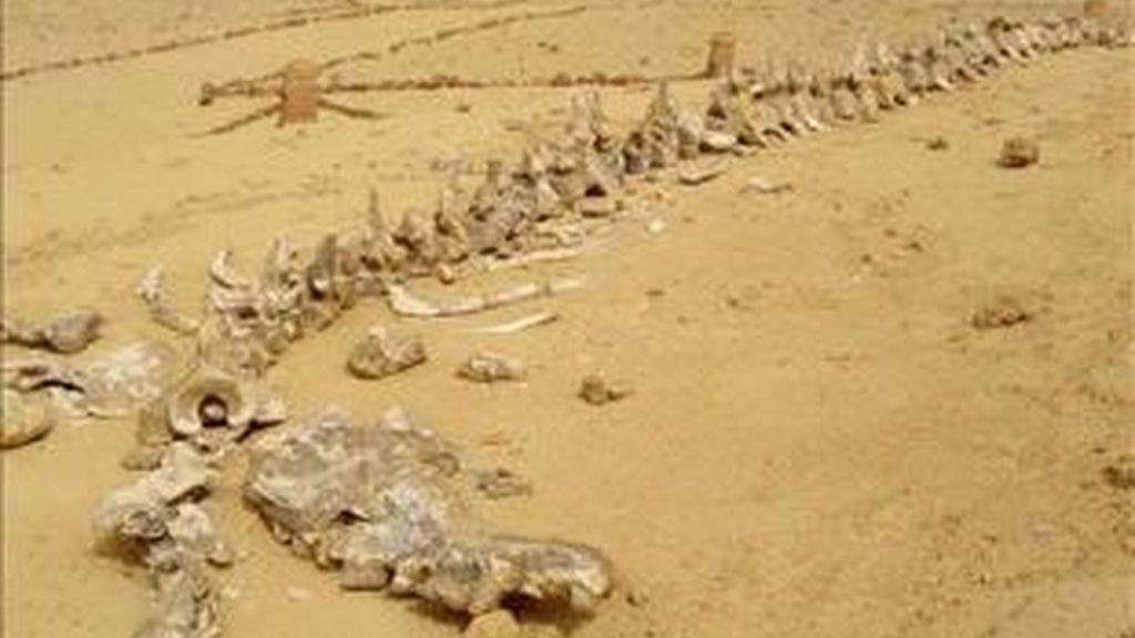 Imagen de archivo de un fósil de ballena. Foto: EFE