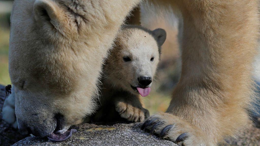 Una cría de oso polar en un zoo de Francia
