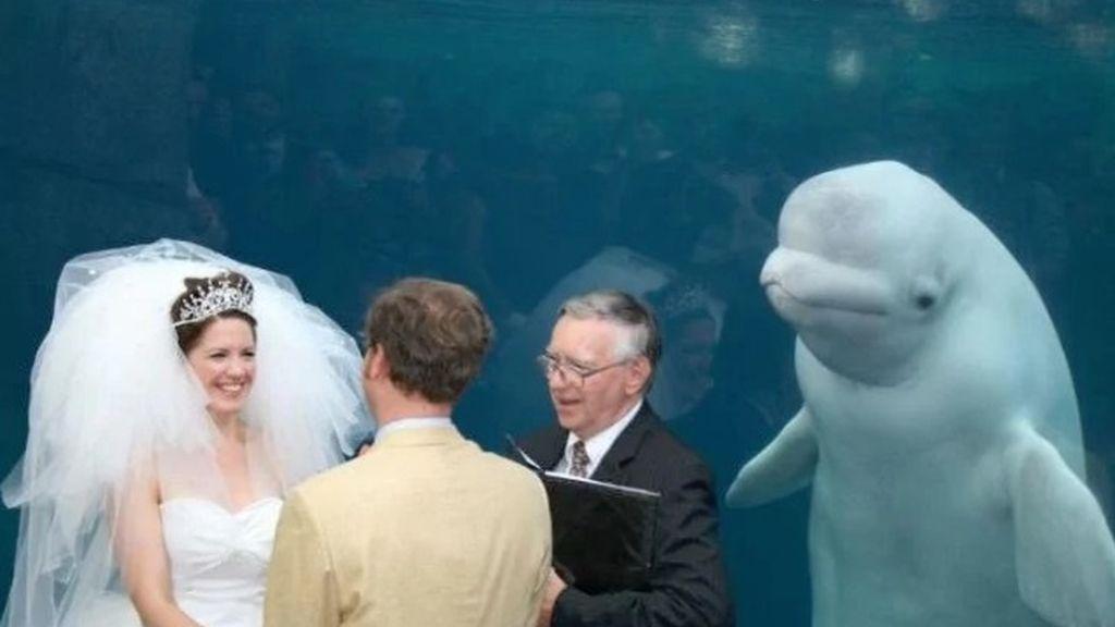Una beluga increpa a una pareja mientras se casa en un acuario y la imagen se hace viral