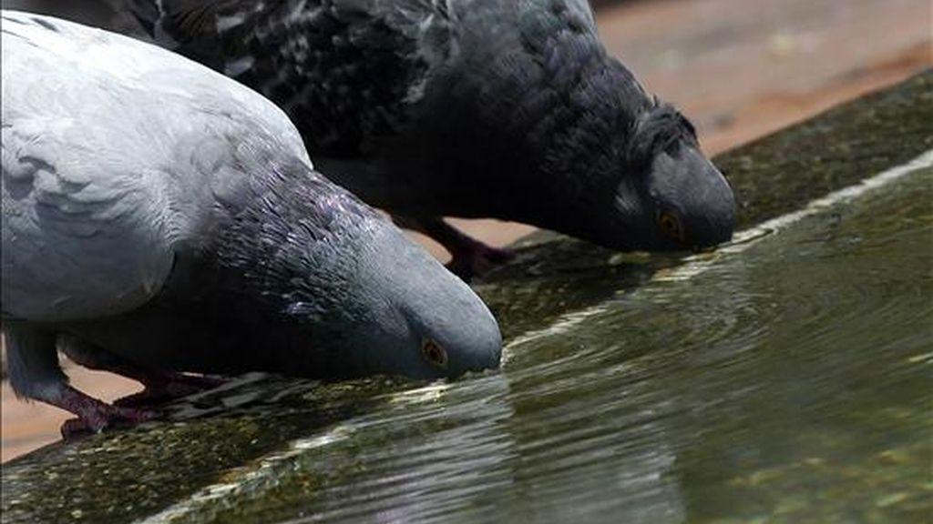 Dos palomas mensajeras amaestradas para llevar partes de teléfonos celulares a los presos de Sorocaba (Sao Paulo) fueron interceptadas por las autoridades brasileñas. EFE/Archivo