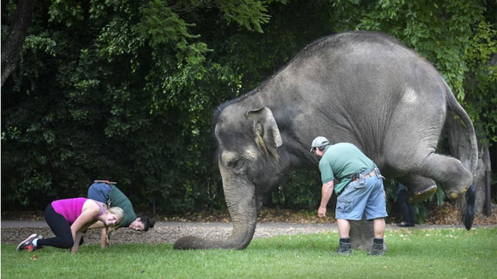 elefante yoga, zoológico Perth