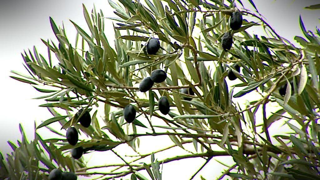 El aceite de oliva, por las nubes