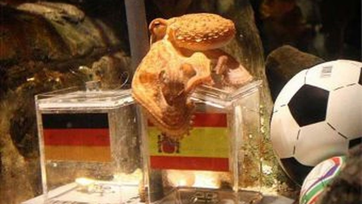El pulpo Paul se ha convertido en un oráculo que vaticina qué equipo vencerá. El animal ha elegido el mejillón de España en vez del de Holanda. Foto Getty