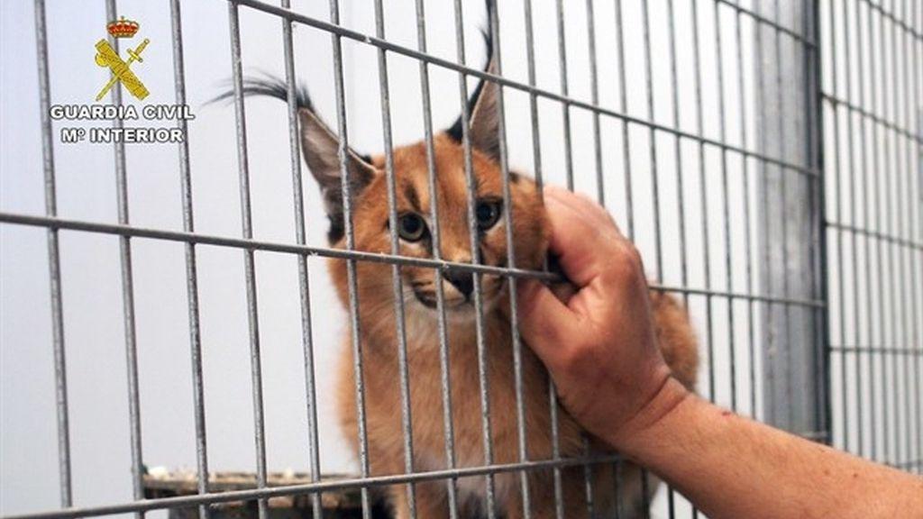 Localizan en una vivienda de Murcia unos 100 animales para traficar con ellos