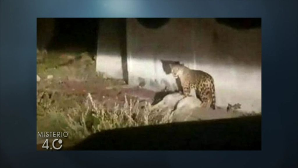 Cunde el pánico por la supuesta aparición de un jaguar en una localidad de Valladolid
