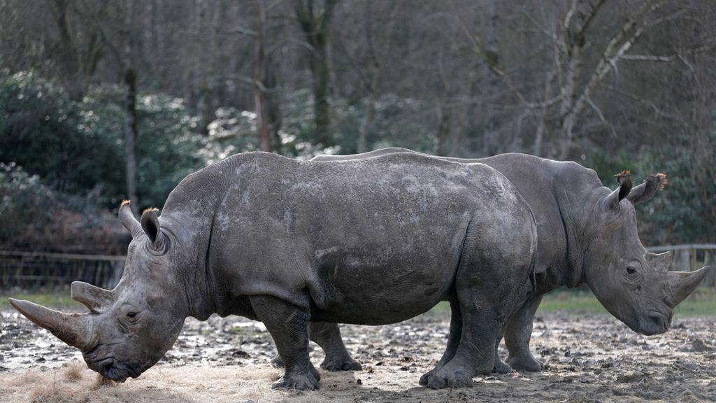 Matan y cortan el cuerno a un rinoceronte en un zoo de Francia