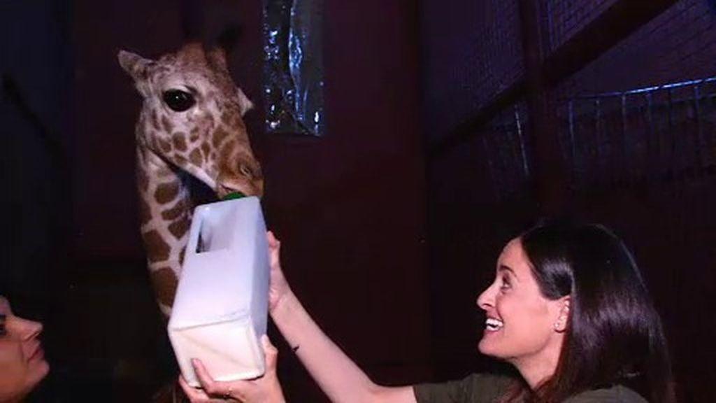 Le damos el biberón a Luisa, ¡esta adorable jirafa de tres meses!