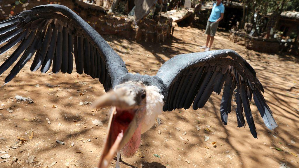 Un marabú que lucha por su territorio