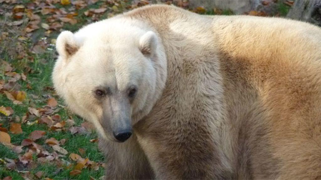 oso capuccino