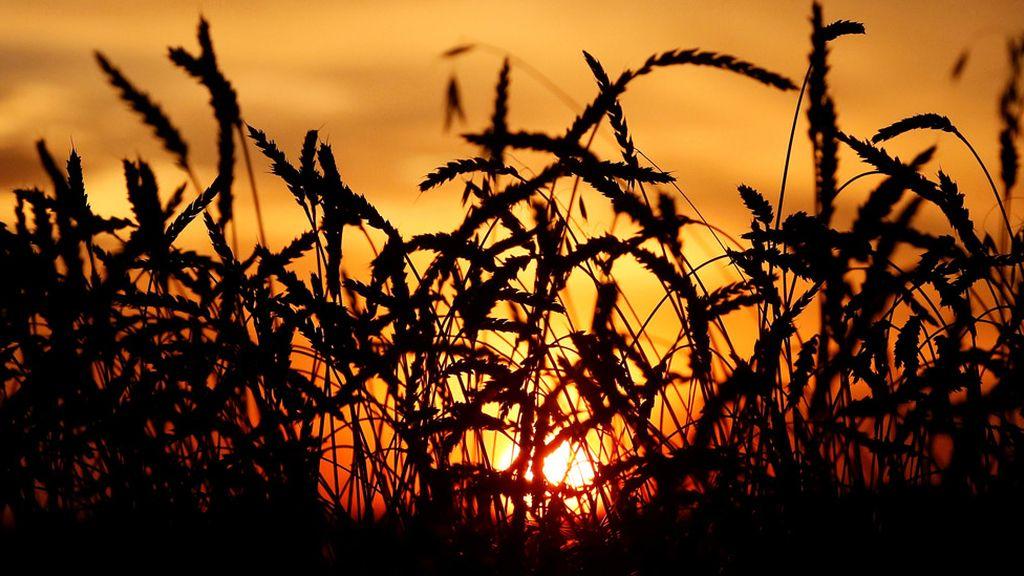 Imagen de un trigal durante una puesta de sol