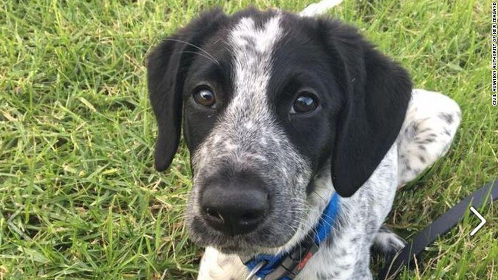 Matan a un perro por retrasar varios vuelos en el aeropuerto de Auckland