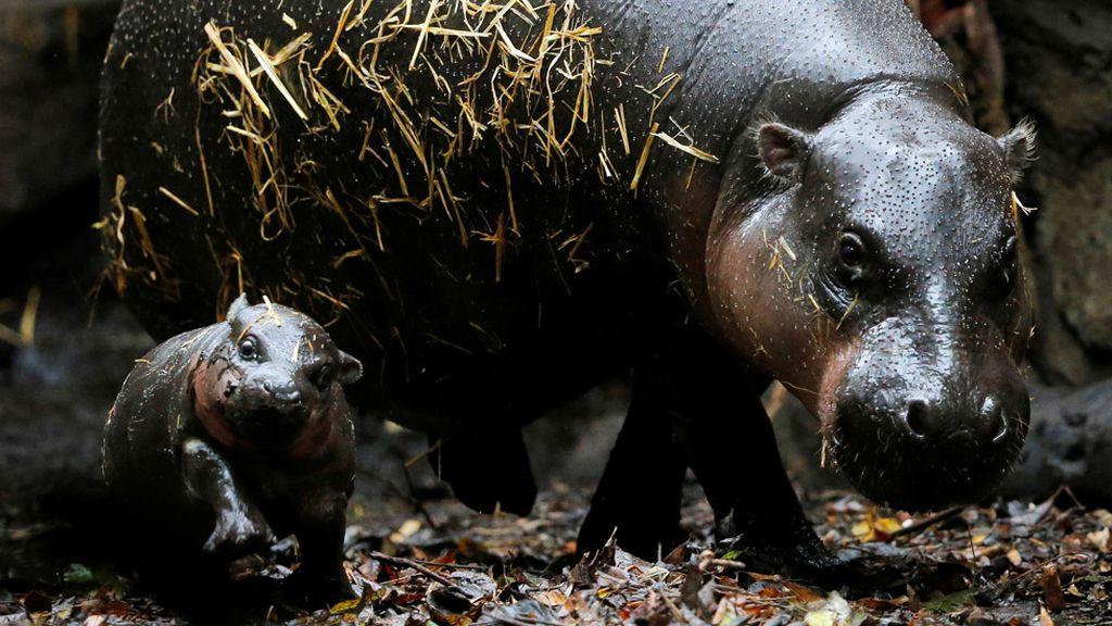 La presentación al público de una cría de hipopótamo