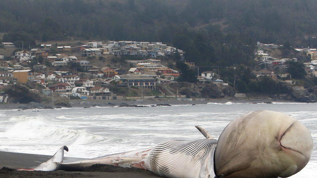 Ballena varada en Chile con una extraña protuberancia