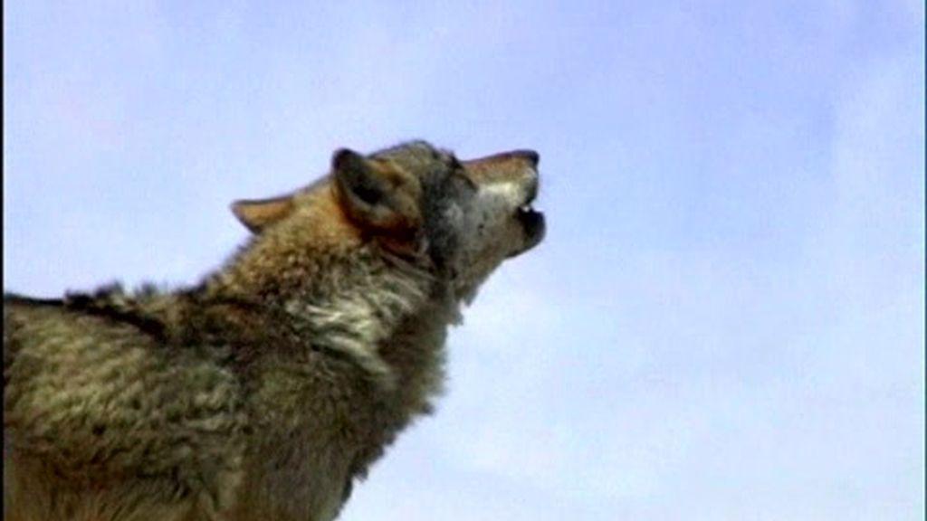 La situación del lobo en España