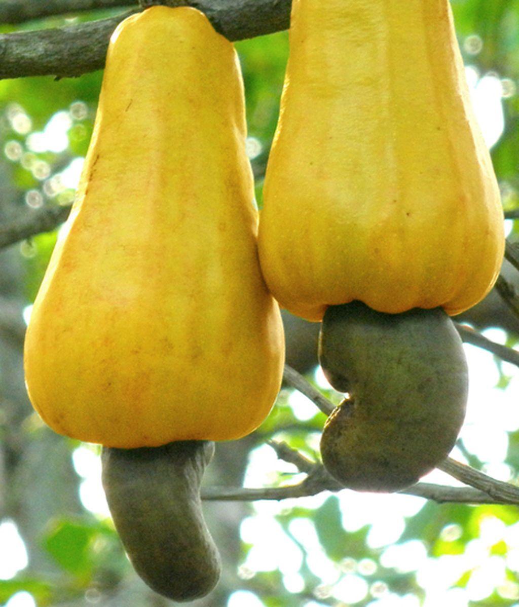 Cashew_apples