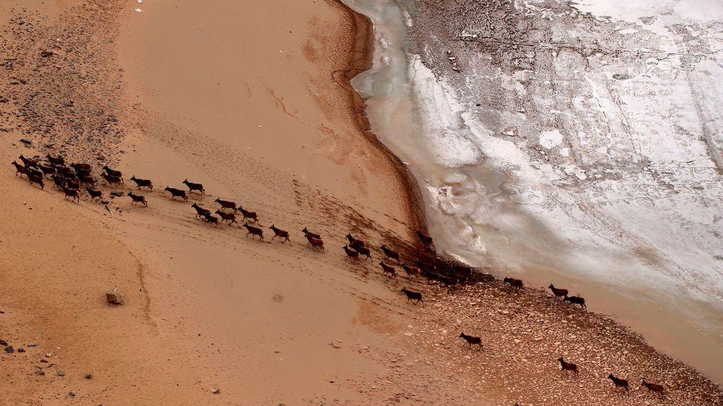 Ciervos europeos paseando por el afluente Yangtze en China