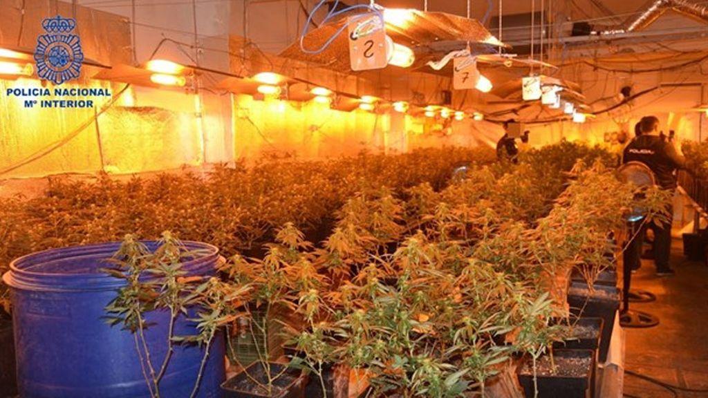 Desmantelan un cultivo de cerca de 400 plantas de marihuana en una casa de Alzira