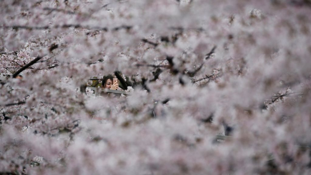 Cerezos japoneses en flor