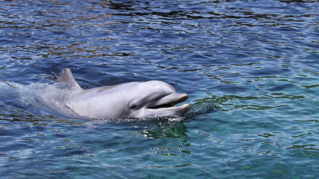 La perturbadora técnica que los delfines usan para cazar pulpos