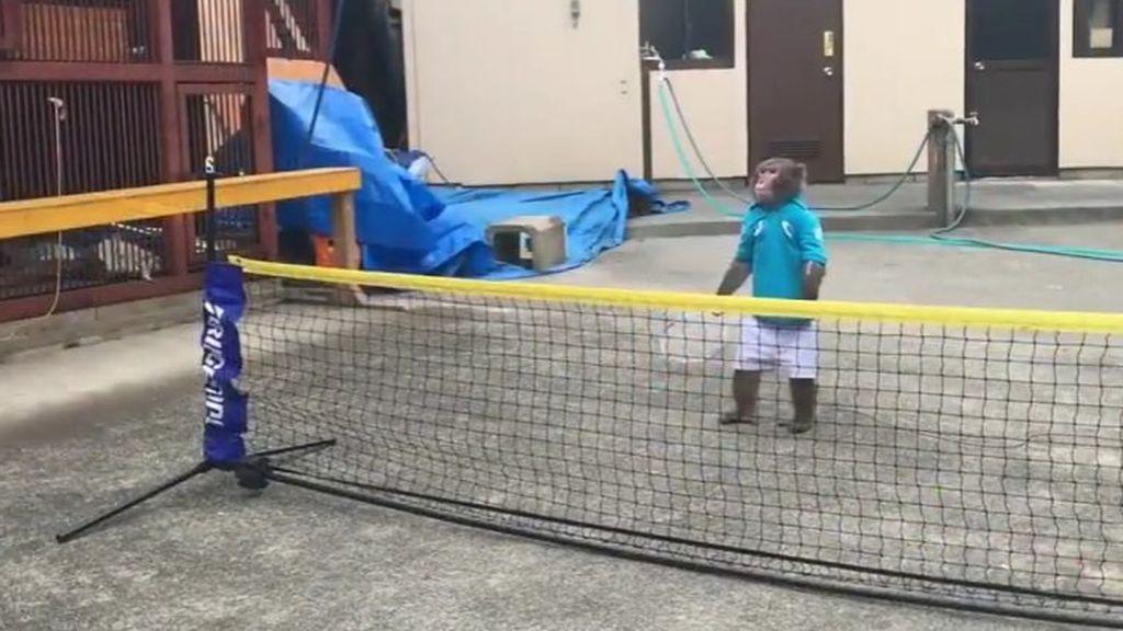 El mono que sabe jugar al tenis da la vuelta al mundo