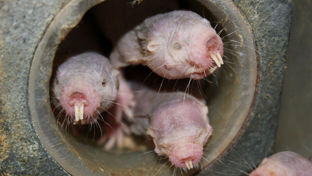 Rata topo desnuda: no padece cáncer, no siente dolor y puede vivir sin oxígeno
