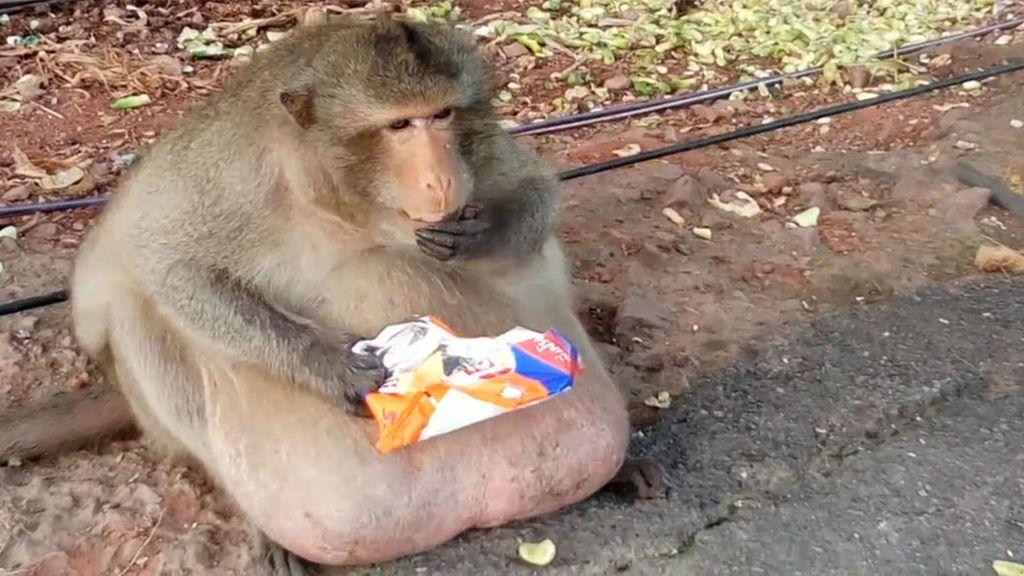 Conoce al mono con sobrepeso enviado a un centro de rescate para adelgazar