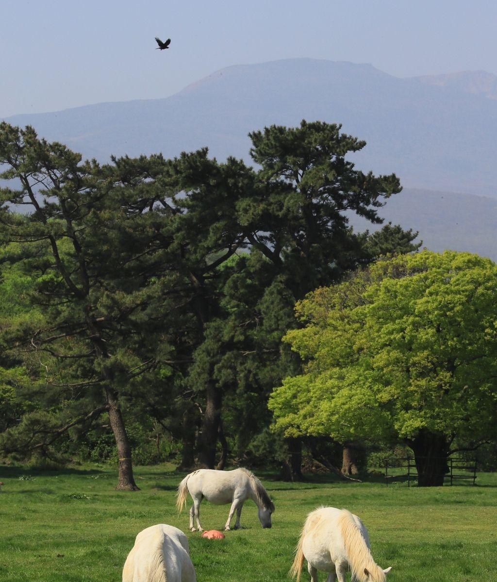 Caballos indígenas de Corea del Sur