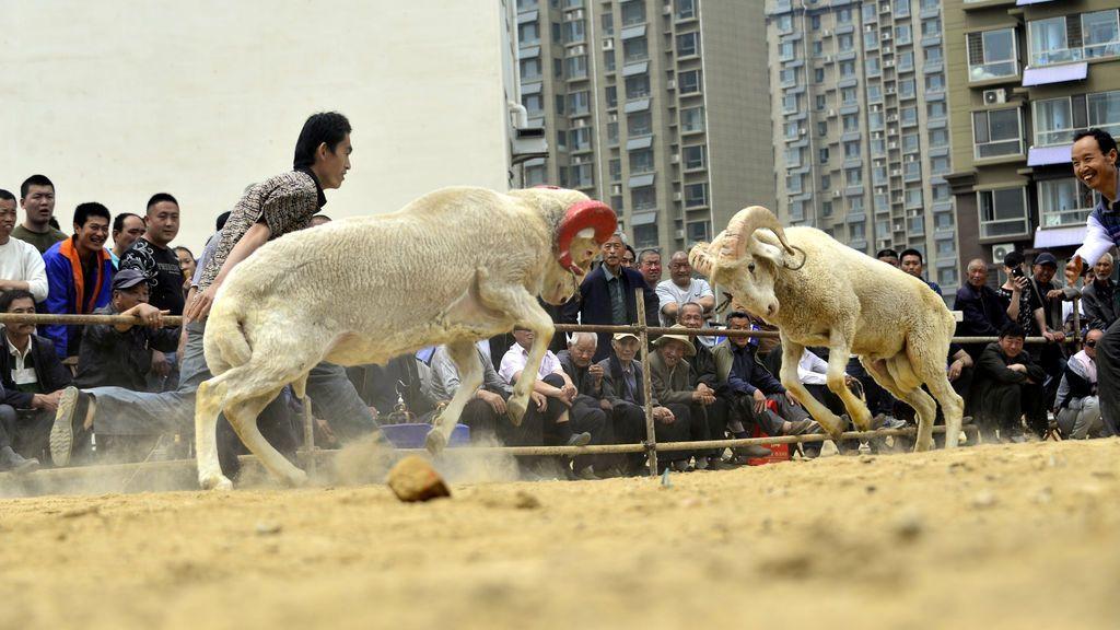 Concurso de peleas de cabras