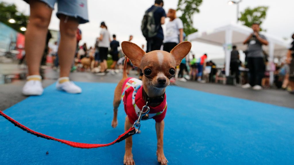 Mini maratón canina